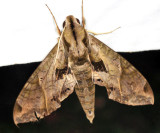 7858 - Satellite Sphinx - Eumorpha satellitia