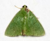 Eulepidotis viridissima