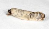 Antaeotricha sp.