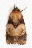 Hampsonodes orbica