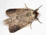 Sericochroa myconos