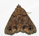 Erebidae - Pseudbarydia sp.