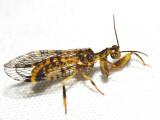 Mantidfly - Mantispidae - Trichoscelia sp.