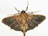 Microthyris prolongalis