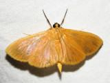 Phaedropsis sp.