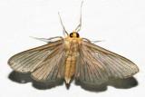 Cirrhocephalina evanidalis
