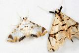 Petrophila sp.