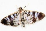 Spilomelinae - Phostria sp.