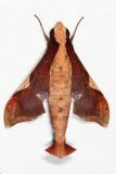 Callionima nomius