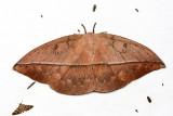 Lonomia santarosensis