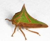 Honduras Membracidae (treehoppers)
