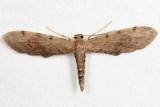 Euacidalia sp.