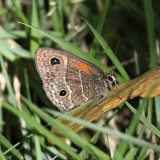 Dominican Butterflies