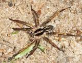 Guyana Wolf Spiders - Lycosidae
