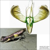 0600 - Caloptilia cornusella *