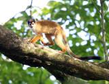 Central American Squirrel Monkey - Saimiri oerstedii