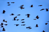 Common Grackles & Red-winged Blackbirds