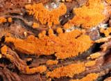 Haplotrichum conspersum