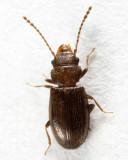 Charaphloeus convexulus