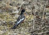 leucistic American Robin - Turdus migratorius