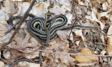 Eastern Garter Snake - Thamnophis sirtalis sirtalis