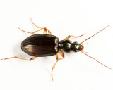 Ground Beetles - Tribe Platynini