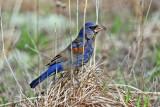 Blue Grosbeak - Passerina caerulea