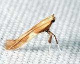 0620 - Caloptilia packardella