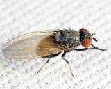 Minettia obscura species group