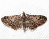 7459 - Eupithecia columbiata