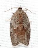 3748 - White-lined Leafroller - Amorbia humerosana