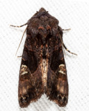 9545 - American Angle Shades - Euplexia benesimilis