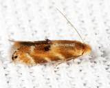 0559 - Bucculatrix coronatella