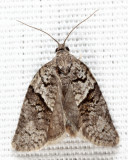 3672 - Gray Leafroller - Syndemis afflictana