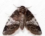 8972 - Pale Baileya - Baileya levitans