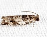 3277 - Rhopobota dietziana