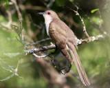 Cuckoos & Allies