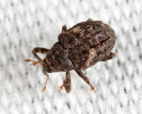 Eubulus bisignatus
