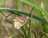 Eastern Pine Elfin - Callophrys niphon
