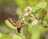 7853 - Hummingbird Clearwing Moth - Hemaris thysbe