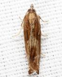 2908 - Eucosma radiatana group