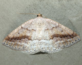 6807 - Pale Alder - Tacparia detersata