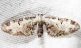 7605 - Tawny Pug - Eupithecia ravocostaliata