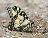 New England Butterflies