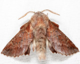 7687 - American Lappet Moth - Phyllodesma americana