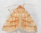 9930 - Citrine Sallow - Pyreferra citrombra
