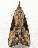 8465 - Green Cloverworm - Hypena scabra