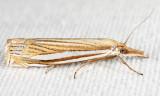 5378 - Eastern Grass-veneer - Crambus laqueatellus
