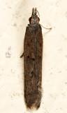 2281 - Palmerworm Moth - Dichomeris ligulella