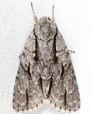 9238 - Lobelia Dagger - Acronicta lobeliae